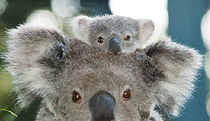 Billabong Koala and Wildlife Park - Australia Accommodation