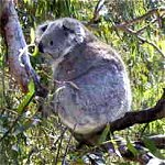 Koala Conservation Centre - Australia Accommodation