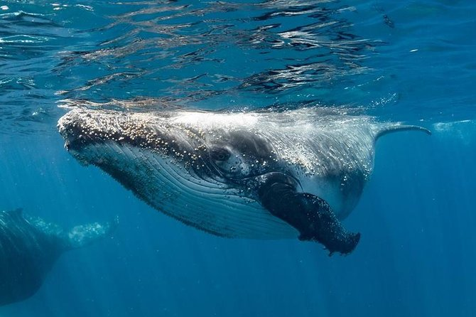 Swim with Humpback Whales - Ningaloo Reef - 3 Islands Whale Shark Dive