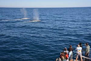 Blue Whale Perth Canyon Expedition - Australia Accommodation